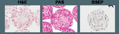 InSphero monkey liver microtissue histology