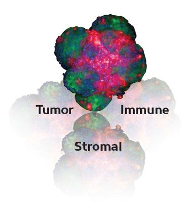 InSphero tumor microtissue model reflected